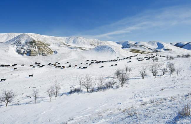Rinder in verschneiten großen schlammigen Badlands, saskatchewan, canada — Stockfoto