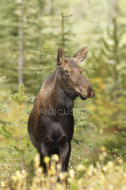 Moose standing in forest of Rocky Mountains, Alberta, Canada — Stock Photo