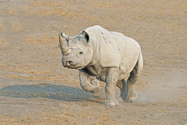 Endangered black rhinoceros walking in Etosha National Park, Namibia — Foto stock