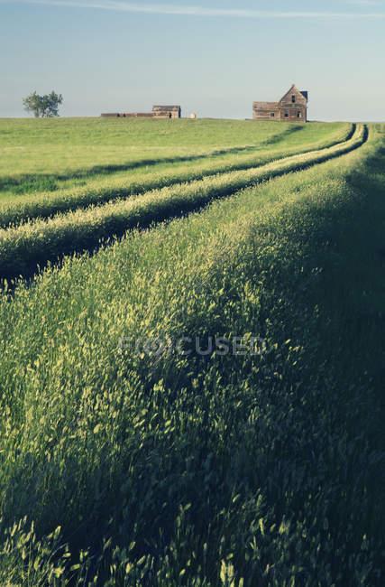 Case coloniche abbandonate in campo verde con piste vicino Leader, Saskatchewan, Canada — Foto stock