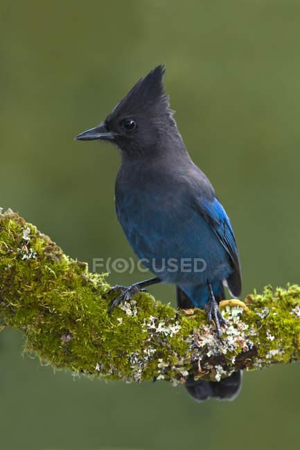 Nahaufnahme des blauen Steller Jay Vogel Sitzstangen auf Moos bedeckt branch. — Stockfoto