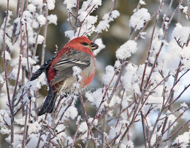 Pinson grosbeak assis dans un arbre recouvert de neige . — Photo de stock