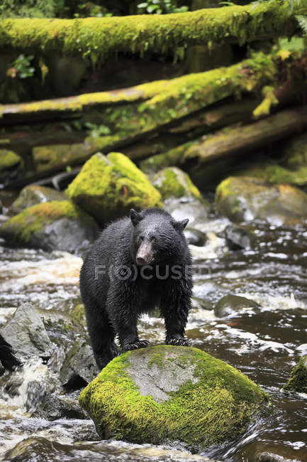 Black bear fishing in water of Thornton Creek, Vancouver Island, British Columbia, Canada — Stock Photo