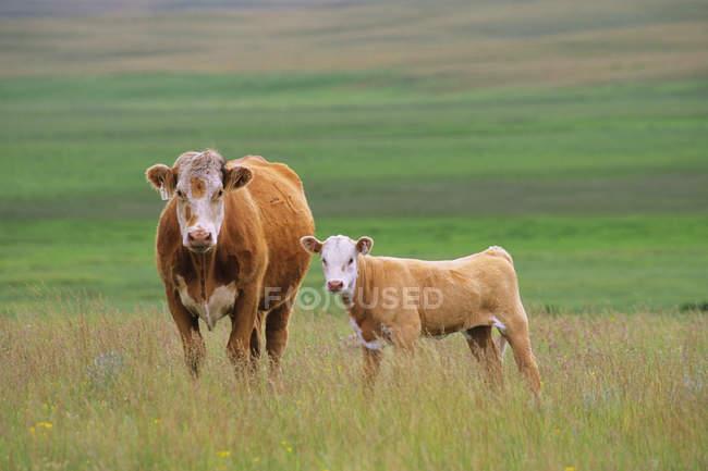 Rinder auf der Weide des südlichen saskatchewan, Kanada. — Stockfoto