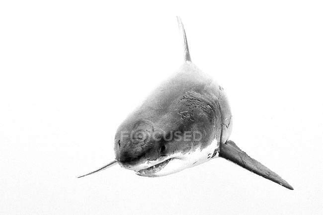 Grande squalo bianco sullo sfondo bianco . — Foto stock