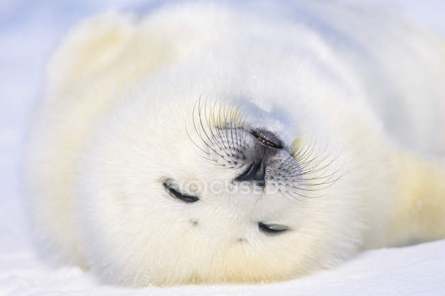 Young harp seal snoozing on snow, close-up. — Stock Photo