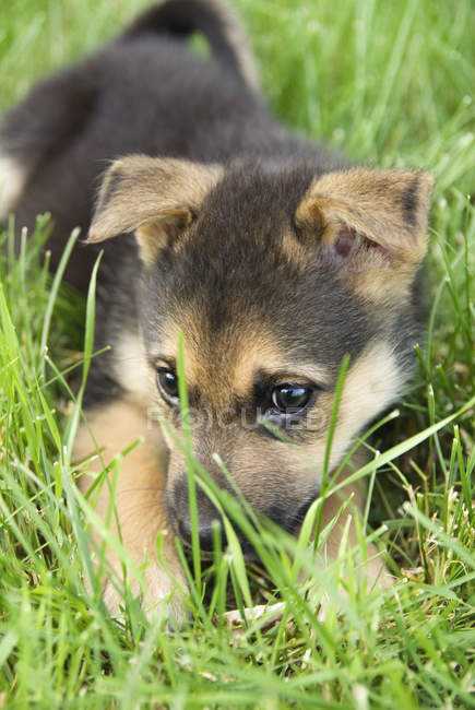Mixed breed puppy lying in green grass outdoors. — Stock Photo