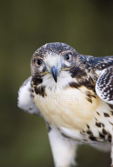 Uccello del falco coda rossa bella, ritratto. — Foto stock