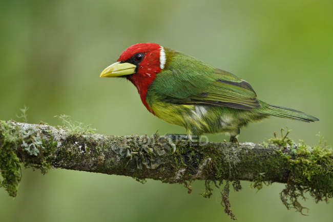 Red-headed barbet encaramado en la rama en el Ecuador. - foto de stock
