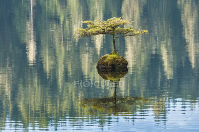 Small tree sprouting from sunken log in Fairy Lake, Vancouver Island, British Columbia, Canada — Stock Photo