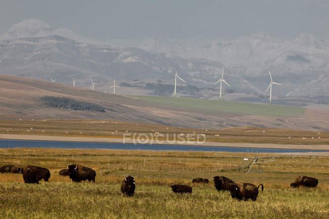 Bisons Ranch und Windmühlen in der Nähe von Pincher Creek, Alberta, Kanada. — Stockfoto