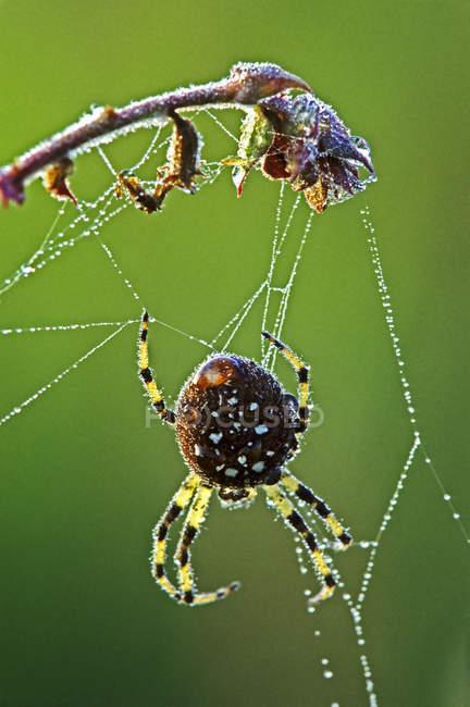 Aranha de trevo com orvalho na web, close-up. — Fotografia de Stock