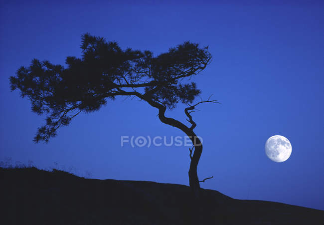 Scenery of white pine and moon in blue sky, Georgian Bay, Ontario, Canada — Stock Photo