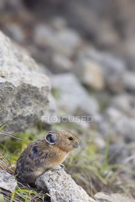 American pika sitting in rocks in natural habitat of Jasper National Park, Alberta, Canada — стокове фото