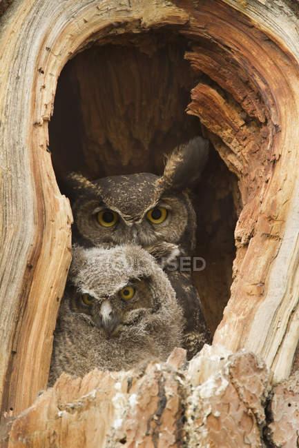 Велика рогата Сова і owlet розміщення в дерево підлоги, великим планом. — стокове фото