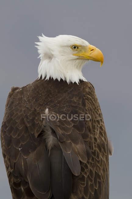 Águila calva con plumas viento sentado al aire libre. - foto de stock