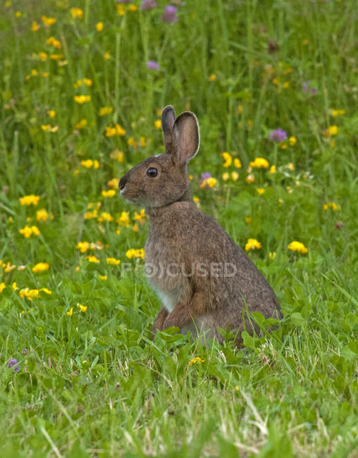 Snowshoe hare standing in summer grass near Lake Superior, Canada — стоковое фото