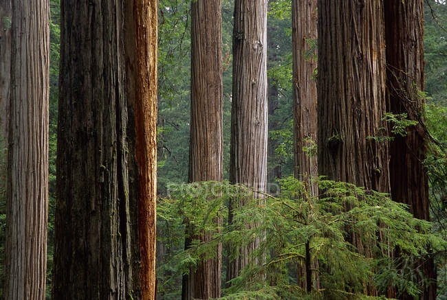 Küstenredwoods in Nordkalifornien, Prärie Creek Redwoods Nationalpark, USA — Stockfoto