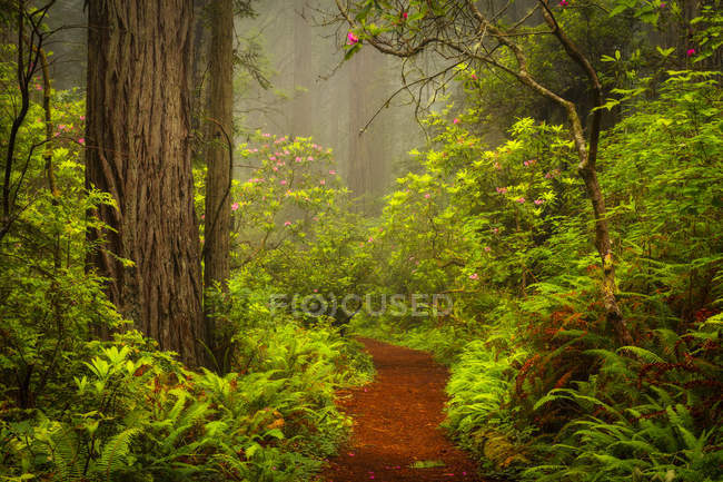 Redwoods and rhododendrons along Damnation Creek Trail in Del Norte Coast Redwoods State Park, California, USA — Stock Photo