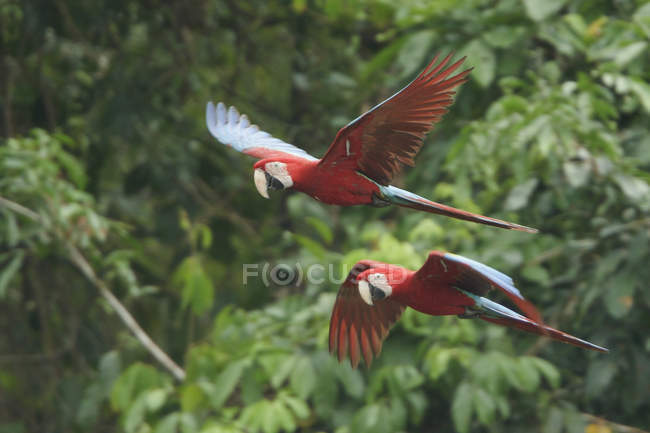 Red-and-green macaws flying in forest of Peru. — Stock Photo