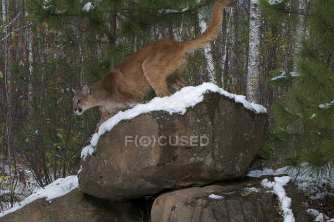 Puma steht auf schneebedecktem Findling im Wald. — Stockfoto