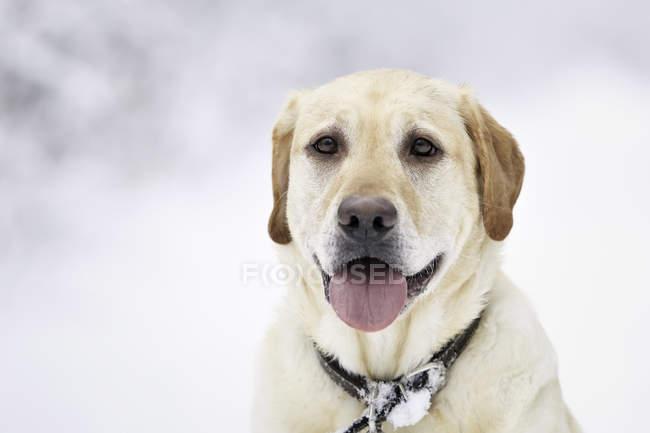 Retrato do retriever de labrador amarelo em bosques de inverno nevado, Winnipeg, Manitoba, Canadá. — Fotografia de Stock