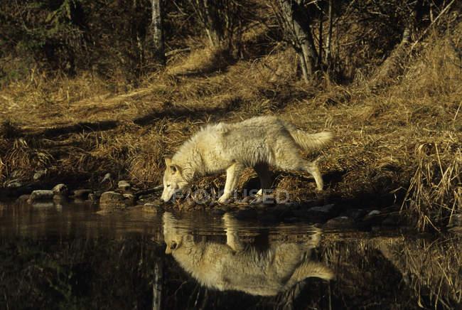 Волк питьевая вода из пруда в лесу штата Монтана, США. — стоковое фото