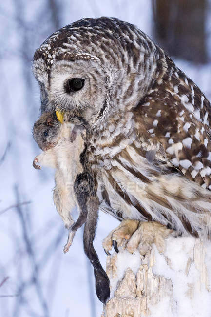 Barred owl ingesting flying squirrel in snowy forest. — Stock Photo