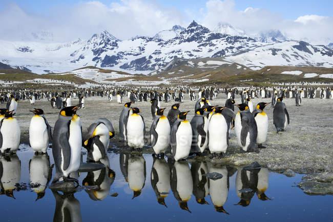 Король пінгвіни, стоячи в гірський ландшафт на острові Південної Джорджії, Антарктида — стокове фото
