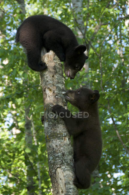 American black bear cubs climbing on tree trunk in forest. — стокове фото