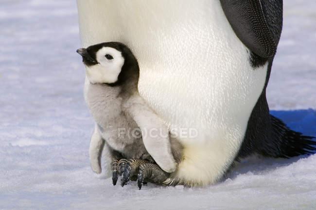 Закри імператорського пінгвіна Чик відпочиваючи на дорослого ноги, сніг пагорбі острова, Weddell море, Антарктида — стокове фото