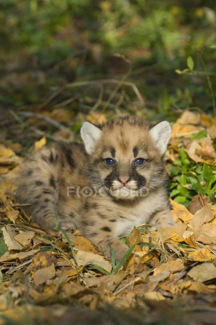 Puma-Kätzchen im herbstlichen Laub. — Stockfoto