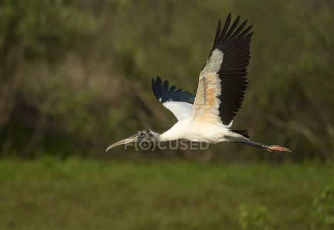 Cicogna di legno battenti nel bosco della Florida, Usa — Foto stock