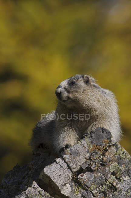 Седой сурок, сидя на скале, макро. — стоковое фото