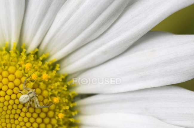 Close-up of small spider on daisy flower. — Stock Photo