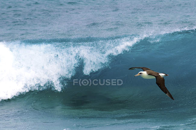 Laysan albatross fliegen über ozeanbrandung auf hawaii, usa — Stockfoto