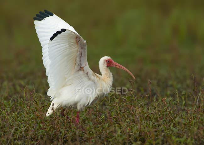 Ibis bianco uccello cammina in zona umida con ali spiegate — Foto stock