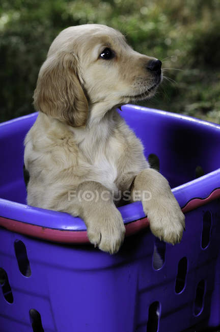 Purered golden retriever chiot debout dans le panier violet . — Photo de stock