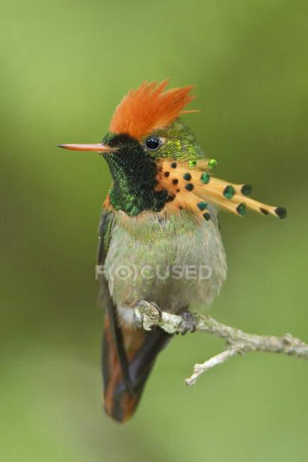 Pájaro coqueta con mechón exótico posado en una rama en Trinidad y Tobago . - foto de stock