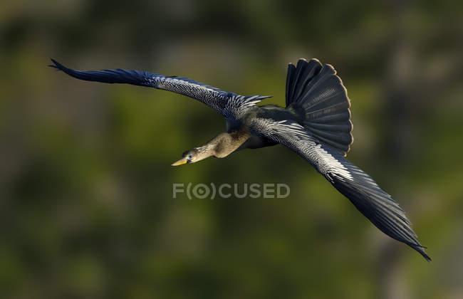 Anhinga acqua uccello volare con ali spiegate all'aperto — Foto stock