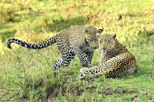 Два Леопарди обіймаються на зеленій траві в Масаї Мара заповідника, Кенія, Східна Африка — стокове фото