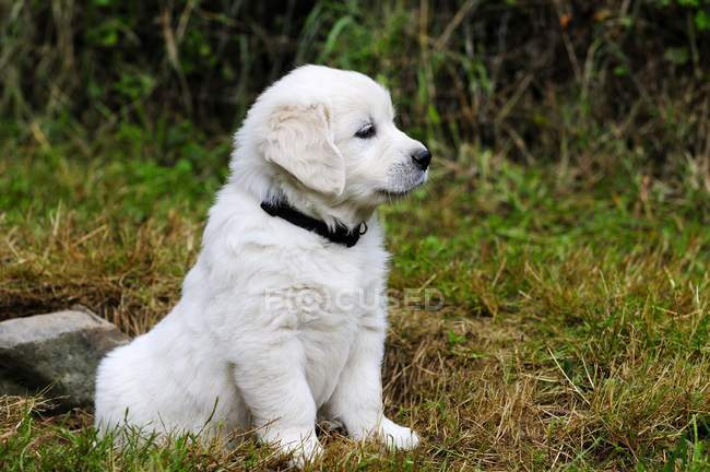 Purebred English golden retriever puppy sitting on lawn. — Stock Photo
