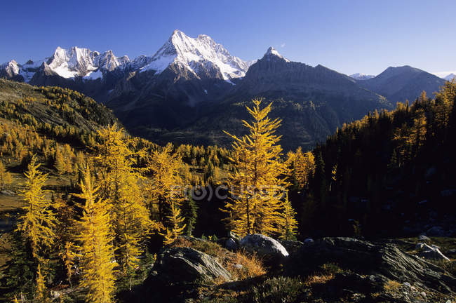 Larch trees in autumnal foliage at sunrise, Jumbo Pass, Columbia Mountains, British Columbia, Canada. — Stock Photo