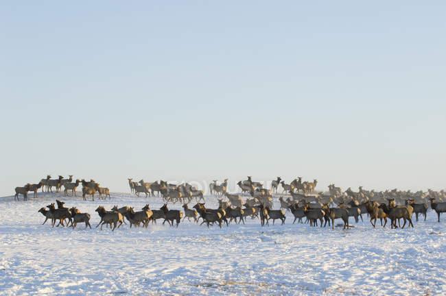 Elchherden bewegen sich im winterlichen Waterton Sees Nationalpark, Alberta, Kanada. — Stockfoto