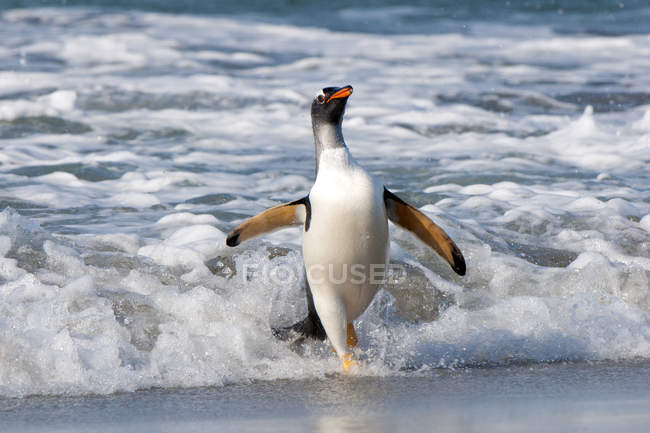 Gentoo penguin walking from sea water at Falkland Islands, Southern Atlantic Ocean — Stock Photo
