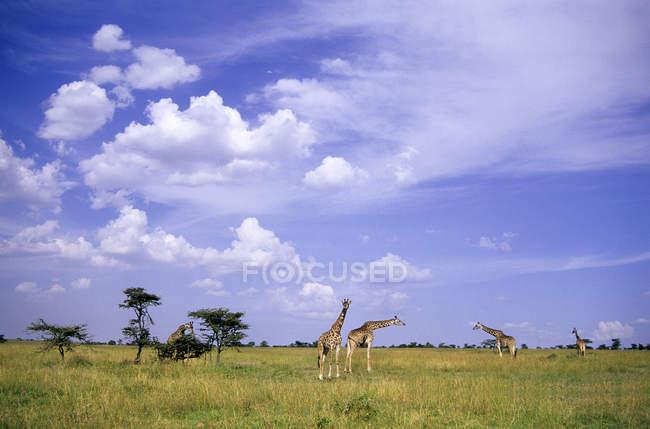 Giraffes group in grassland of Masai Mara Reserve, Kenya, East Africa — Stock Photo