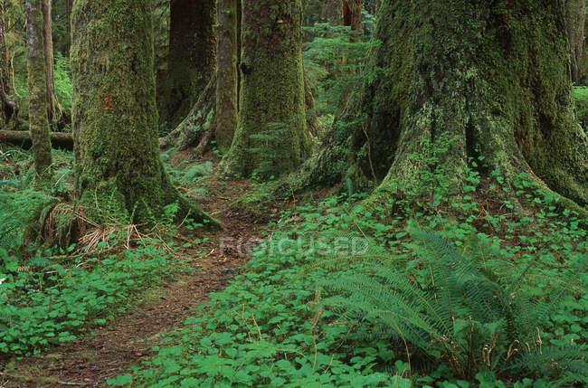Fogliame verde di Carmanah Valley, Stoltman Grove, isola di Vancouver, Columbia britannica, Canada. — Foto stock