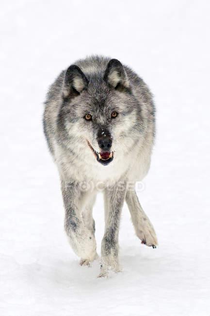 Взрослых женщин волк, ходить на белом снежном фоне. — стоковое фото
