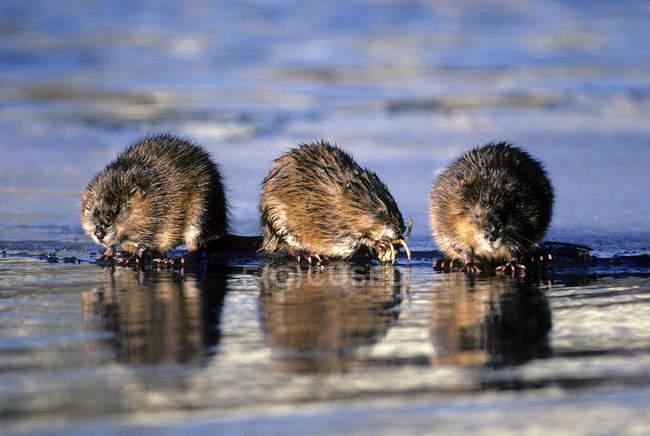 Überwinternde Bisamratten fressen Unterwasserzwiebeln am Eisrand, Zentralalberta, Kanada — Stockfoto