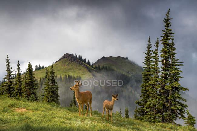 Черный – белохвостый олень выпаса в Туманная голубая гора, Олимпийский национальный парк, штат Вашингтон, США — стоковое фото